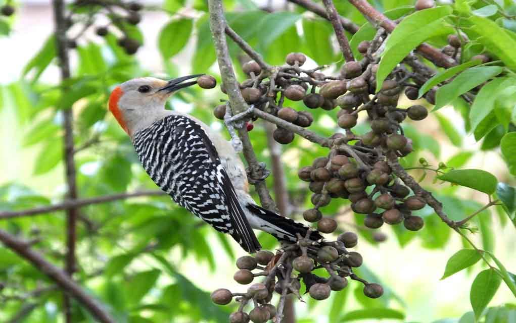 Using-Birds-as-Edible-Berry-Indicators