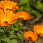 Surprising-Uses-for-Marigold