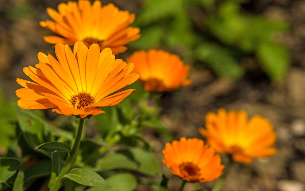 The Medicinal Benefits of Using Marigold