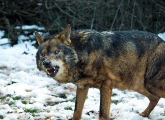 Wolf Attacks Family... in Their Tent!