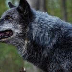 Surviving a Wolf Attack