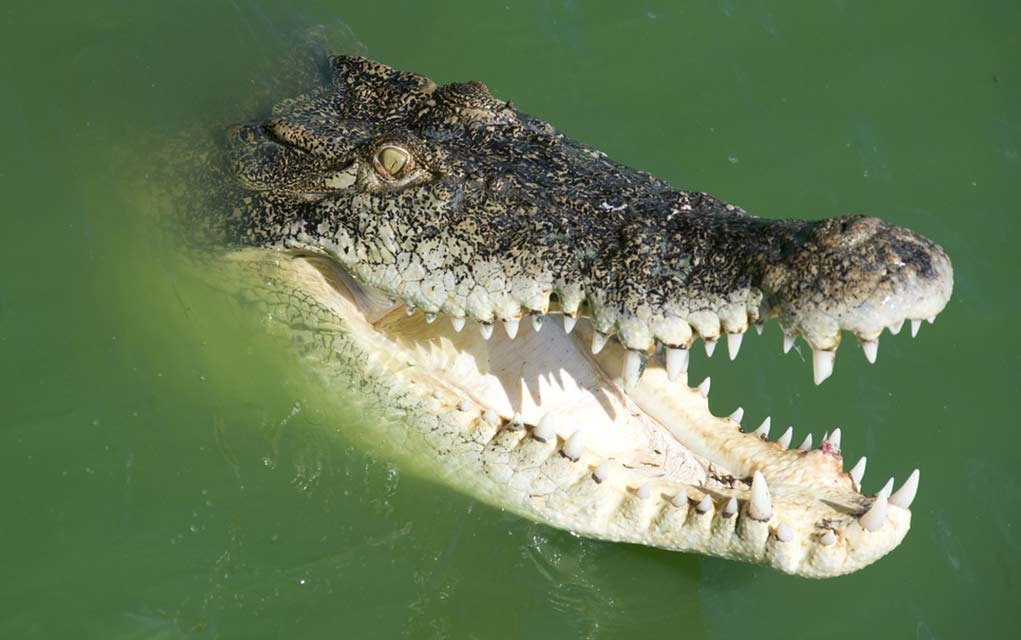 How to Defend Yourself From a Crocodile Attack