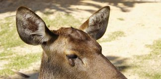 Important-Information-About-Deer-Warts