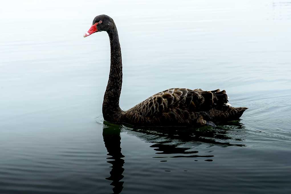 Beware-of-the-Black-Swan