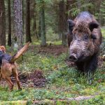 Face-a-Feral-Boar-and-Survive