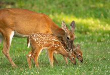 Scientists-Make-Shocking-Find-in-Whitetail-Populations